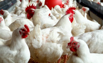 Poultry Farming In Nigeria